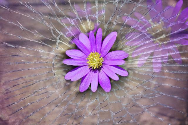 fleur violette sur vitre brisée